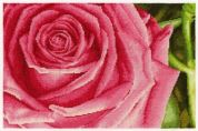 DMC Rose Counted Cross Stitch Kit